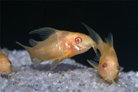 Corydoras paléatus doré - M
