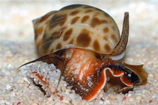 Escargot nettoyeur Babylonia lutosa M