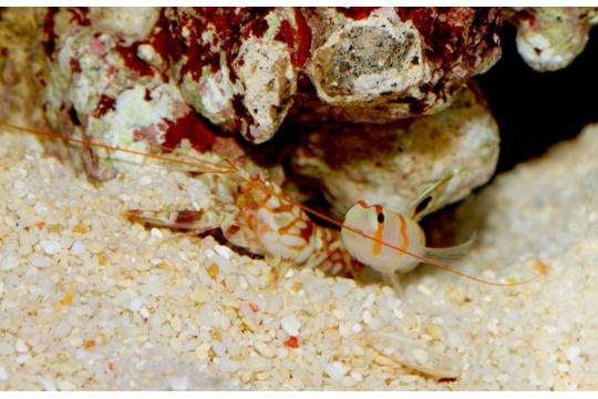 Amblyeleotris Randalli + 1 Alpheus