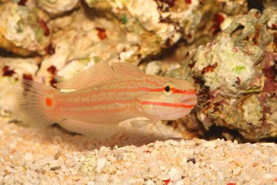 Amblygobius Decussatus - M