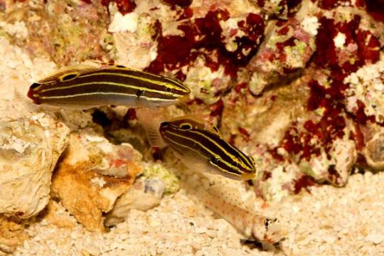 Koumansetta (Amblygobius) Hectory - CPL