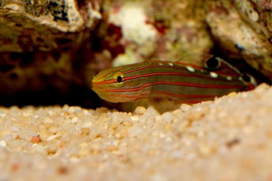 Koumansetta (Amblygobius) Rainfordi - ML