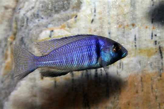 Placidochromis electra - 8-10.