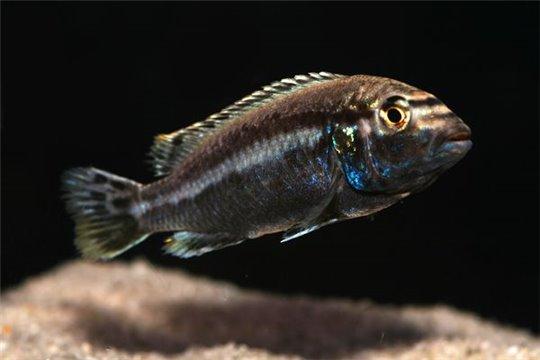 Melanochromis auratus - 6-8.