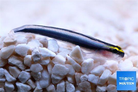 Gobiosoma (Elacatinus) Evelinae elevage