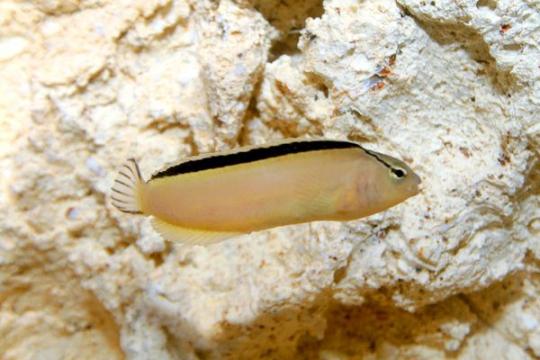 Meiacanthus Smithii