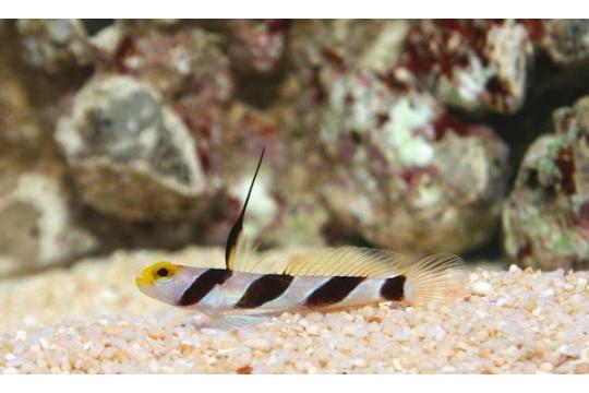 Stonogobiops xanthorhinica