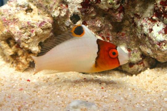Golbometapon Bicolor (cetoscarus) - S