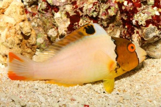 Golbometapon Bicolor (cetoscarus) - L
