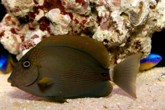 Acanthurus maculiceps - 7-9