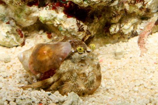 Bernard + Anemone (D.pedunculatus) - XL