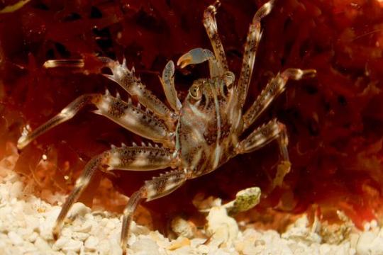 Crabe Percnon(mangeur d'algues)