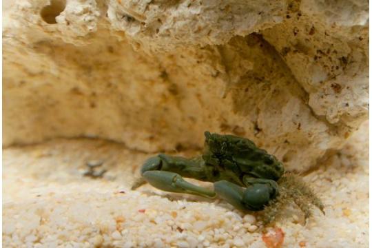 Crabe mythrax(mangeur d'algues) - SM