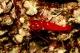 Crevette De Feu ( Debellius ) - M
