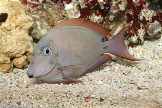 Acanthurus Nigrofuscus - 7-9