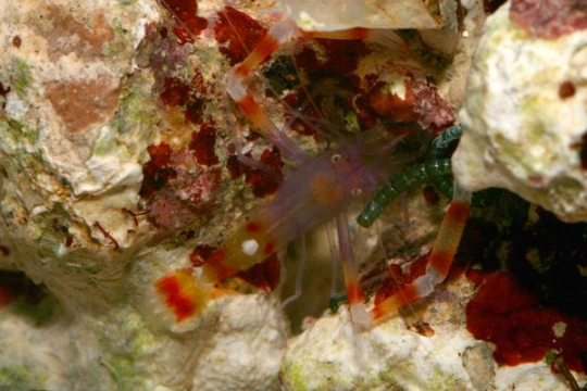 Stenopus Scutellatus - M