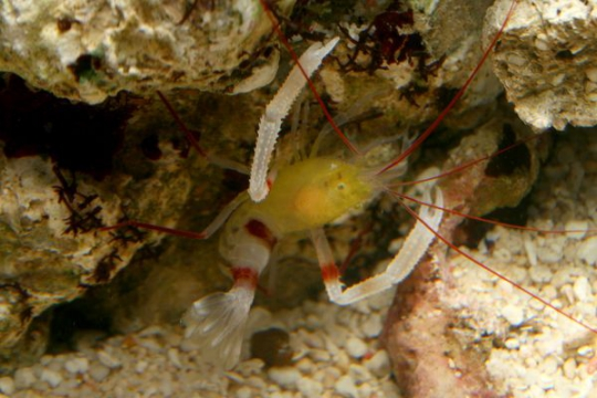 Stenopus Zanzibaricus - ML