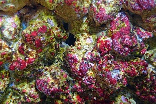 AF Rock coraline (colonisée et colorée pendant 17 semaines minimum) le Kg