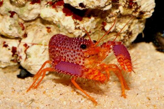 Homard Rouge Enoplometapus - L