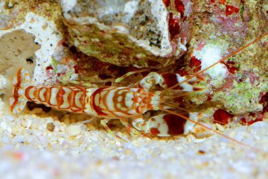 Crevette Alpheus bellulus - CPL