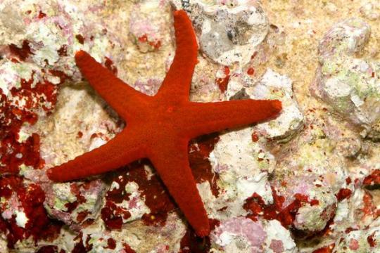 Etoile de Mer Rouge - M
