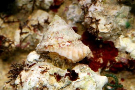 Escargot nettoyeur Astrea/ Trochus - M