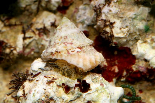 Escargot nettoyeur Astrea/ Trochus - par 20