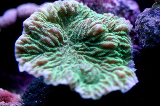 Merulina coloré elevage - 6-9