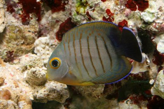 Acanthurus Tristis - 7-9