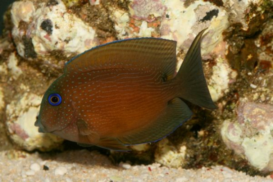 Ctenochaetus Binotatus - 4-6