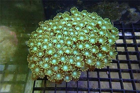 Alveopora coloré Australie 3-4