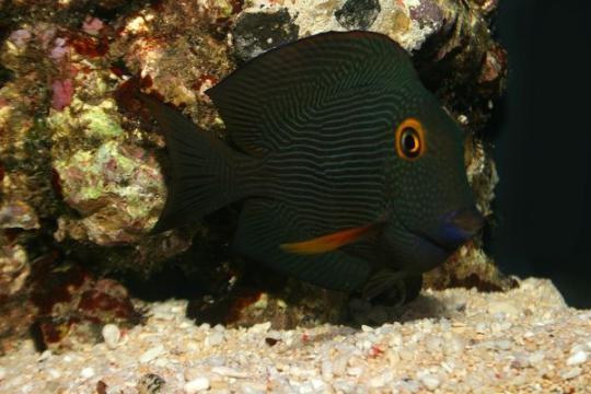 Ctenochaetus Strigo. Hawai - 7-9