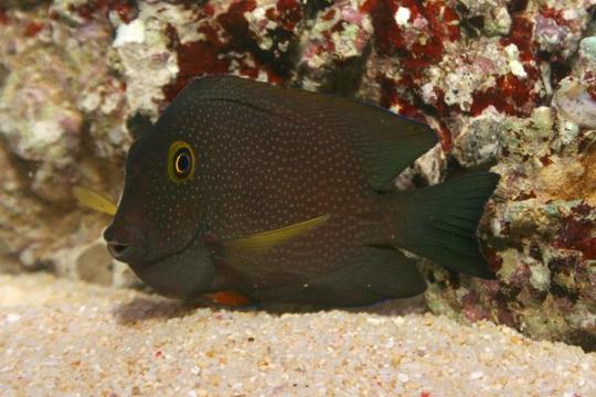 Ctenochaetus Truncatus - 10-15