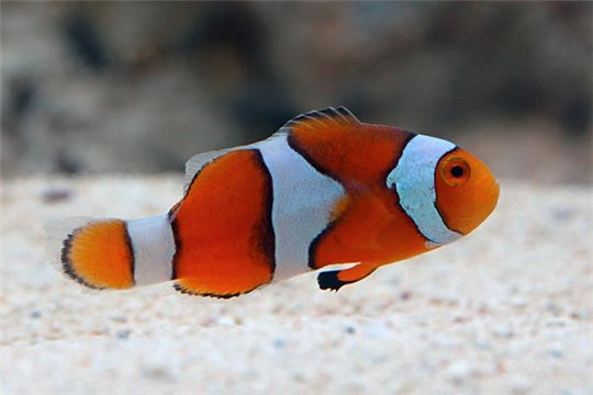 Amphiprion Percula élevage 3-3,5