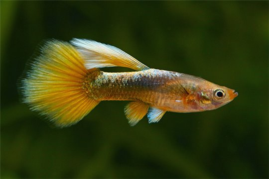 Guppy femelle full yellow premium 3,5-4 cm