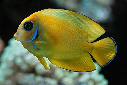 Acanthurus Pyroferus Fidji 7-9