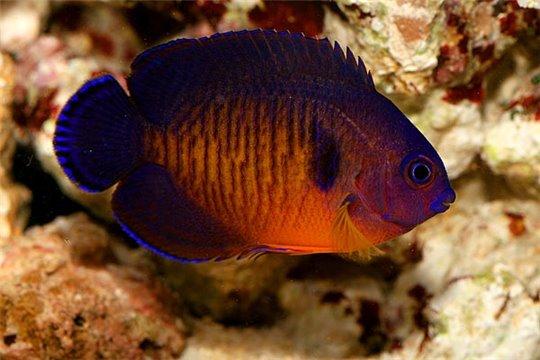 Centropyge bispinosus