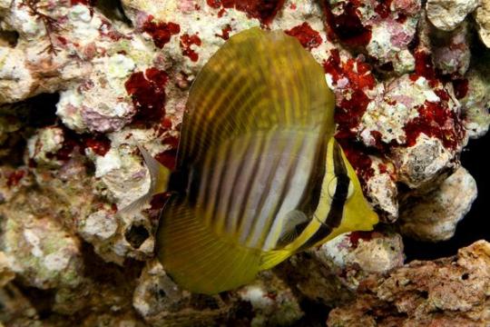 Zebrasoma Desjardini - 4-6