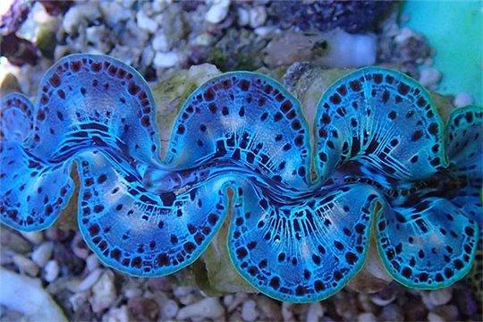 Tridacna maxima Bleu (10-14 cm) per 8