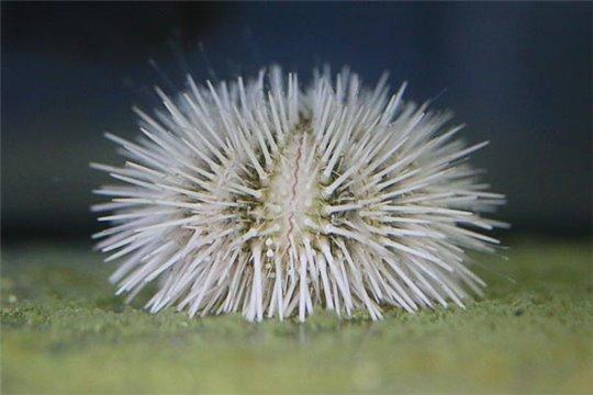 Oursins lytechinus variegatus blanc 7-10 cm