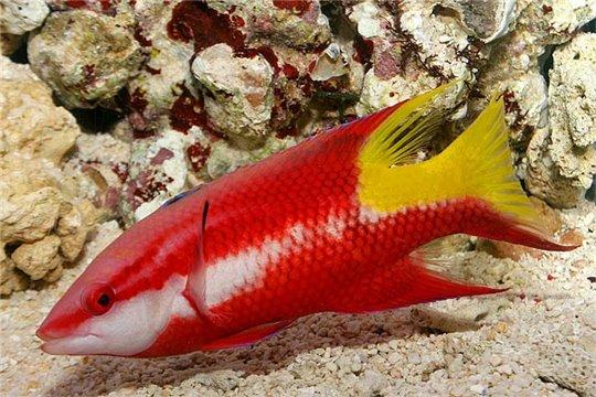 Bodianus pulchellus S
