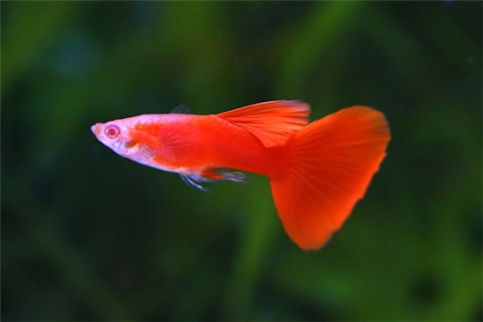 Guppy mâle premium full red 3,5-4 cm