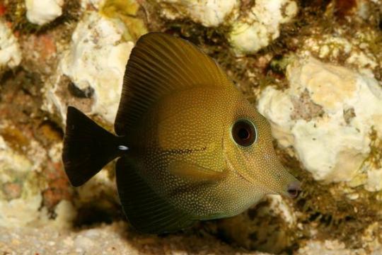 Zebrasoma Scopas - 10-15