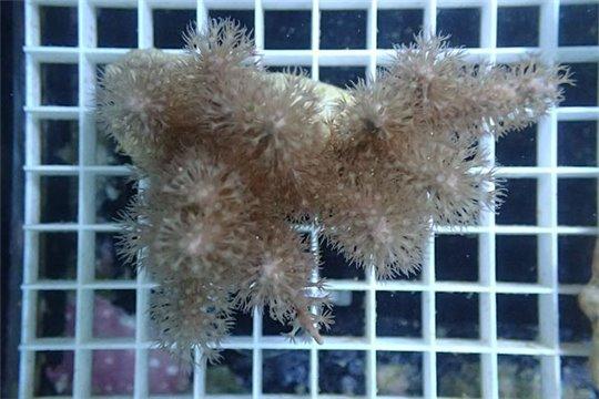 Gorgones gorgonia symbiotiques L