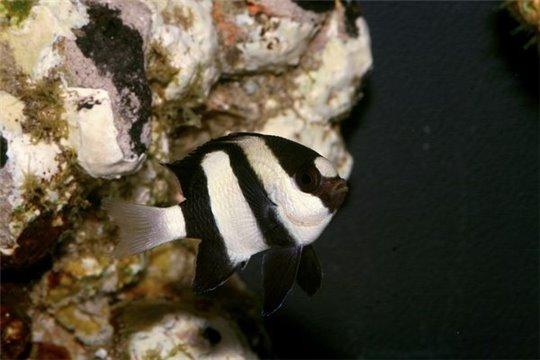 Dascyllus aruanus 4-5 cm