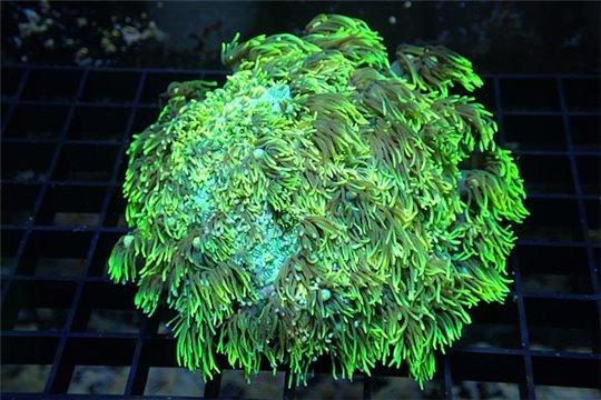 Goniopora sp. vert Australie 6-8 cm