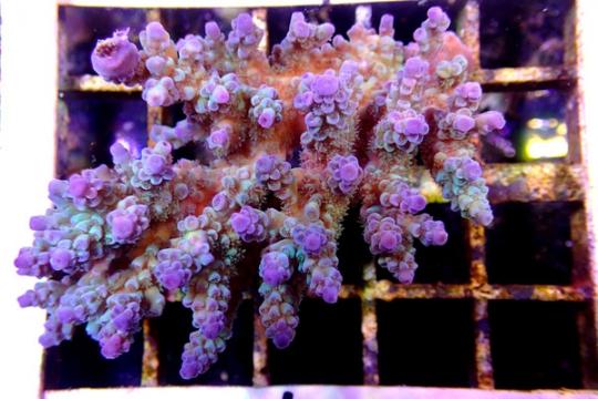 Acropora Colorée Australie - 12-15
