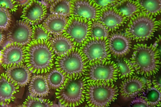 Zoanthus Vert - 11-15