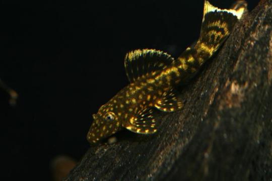 Ancistrus dolichopterus - 5-6.