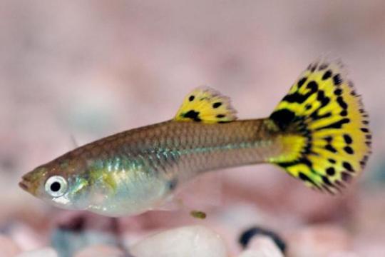 Guppy femelle Cobra vert - L